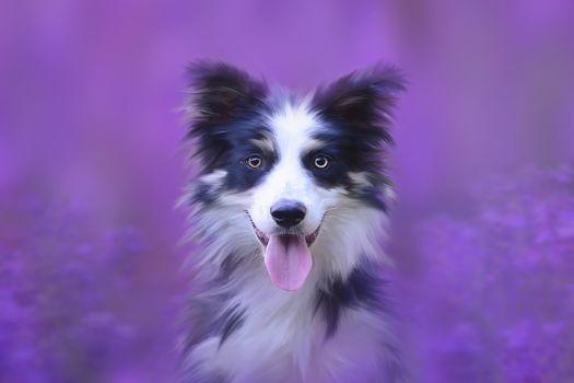 Бесплатные фото собака,портрет,животных,анималистический портрет,домашнее животное,голова собаки,чистокровную собаку,бордер колли,колли,рыло,милый