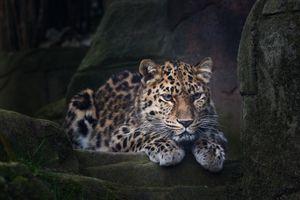 Дикий леопард