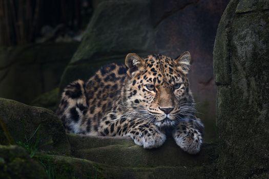 Wild leopard - free photo
