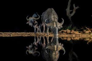 Бесплатные фото Буффало,ночь,Зиманга,Южная Африка,Африканский буйвол,водопой,животные