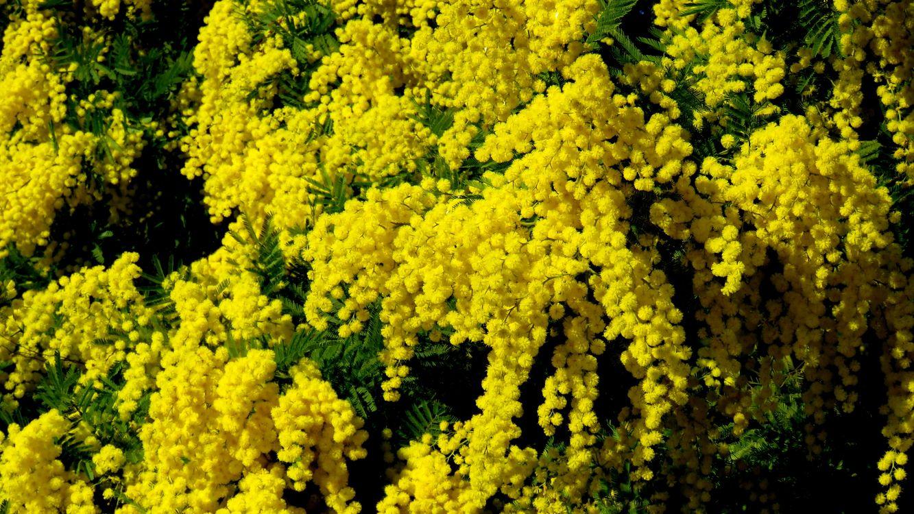 Фото бесплатно мимоза, цветы, ветка, флора, цветы