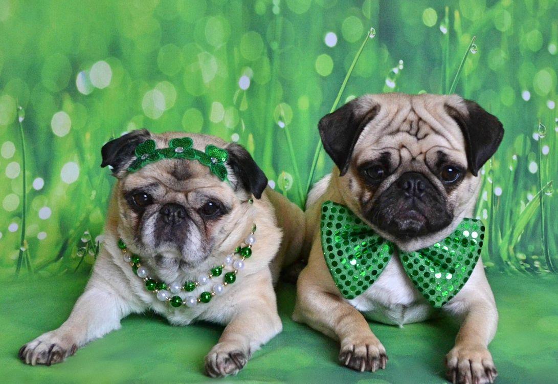 Фото бесплатно Мопс, маленькая, декоративная собачка, собака, собаки, животные, собаки