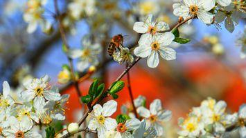 Фото бесплатно медоносная пчела, пчела, мед