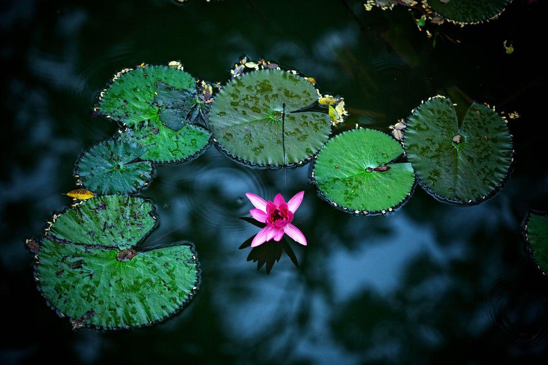 Фото бесплатно водоём, вода, водяная лилия, водяные лилии, цветы, листья, растение, флора, цветы