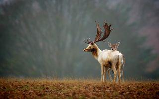 Фото бесплатно животные, оленьи рога, олень