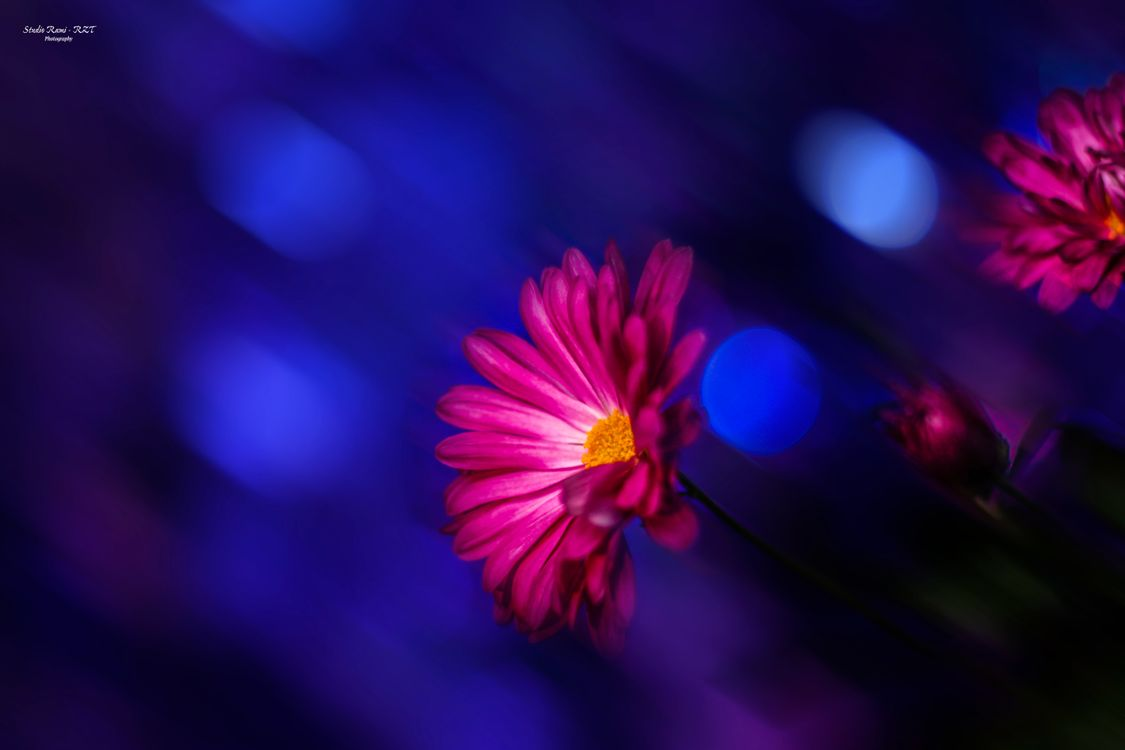 Фото бесплатно астра, канон, темно, цветы, цветы