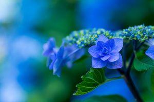 Фото бесплатно гортензия, цветы, цветение