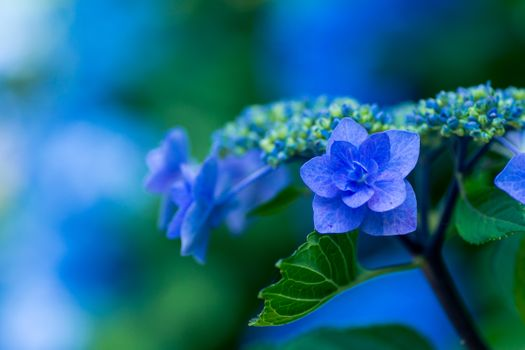 Photo free hydrangea, flowers, bloom