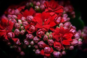 Photo free Kalanchoe flowers Kalanchoe, bouquet, plant