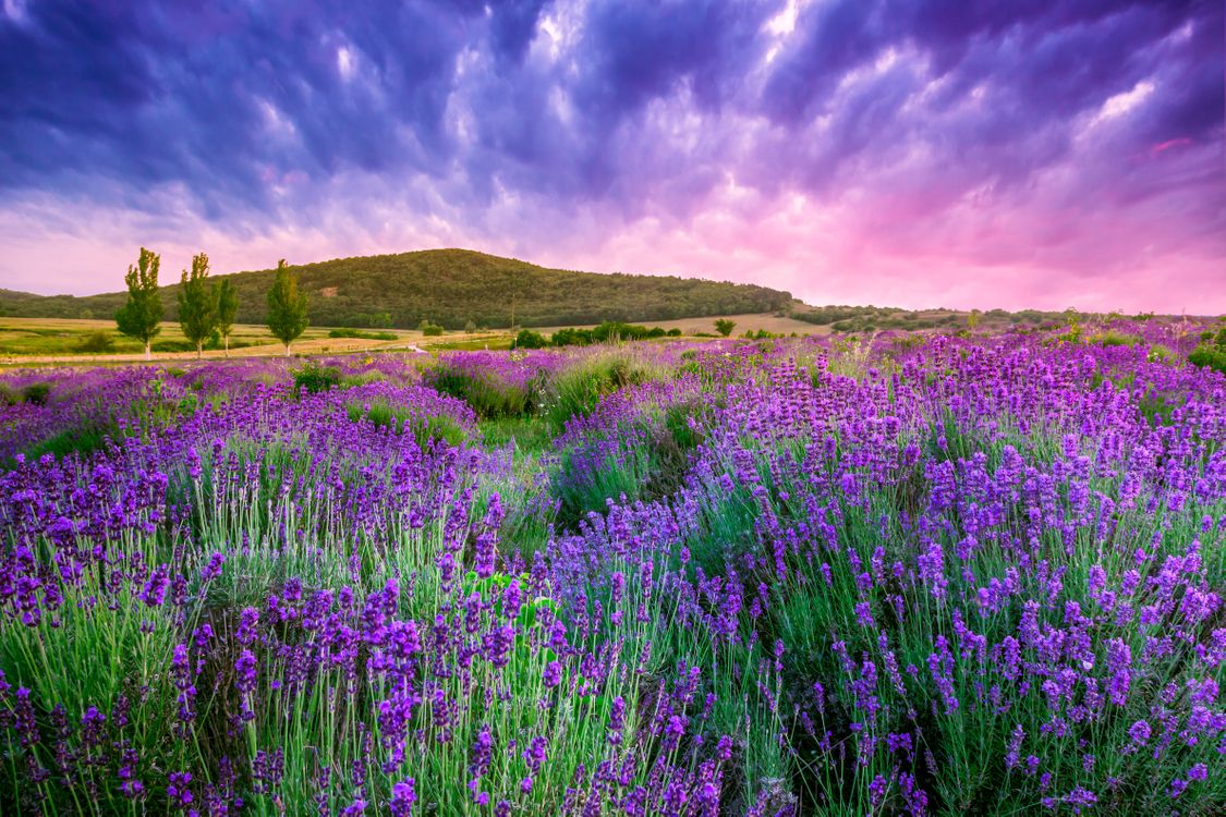Цветущая лаванда · бесплатное фото