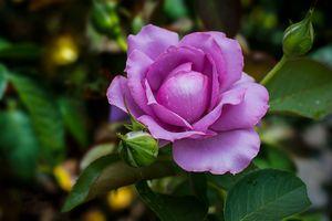 Роза после летнего дождика