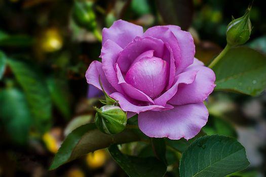 Роза после летнего дождика · бесплатное фото