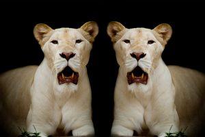 Бесплатные фото Белая львица,хищник,портрет,животное