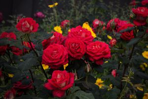 Фото бесплатно розы, куст, кустарник