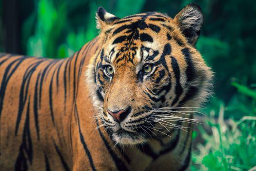 Фото бесплатно животные, в сафари-парке сан-диего..., тигр