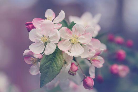 Макросъемка яблони
