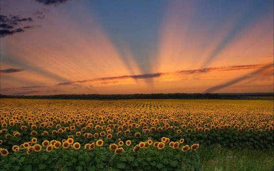 Photo free sunflowers, sunset, rays