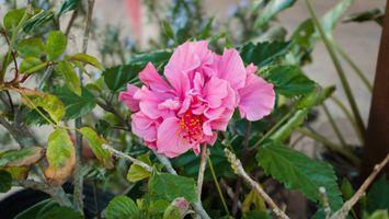 Фото бесплатно розовые цветы, лепестки, листья