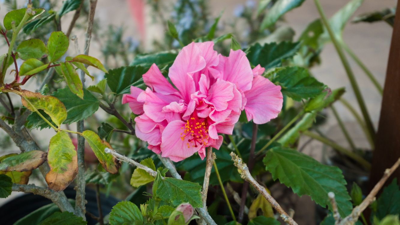 Фото бесплатно розовые цветы, лепестки, листья - на рабочий стол