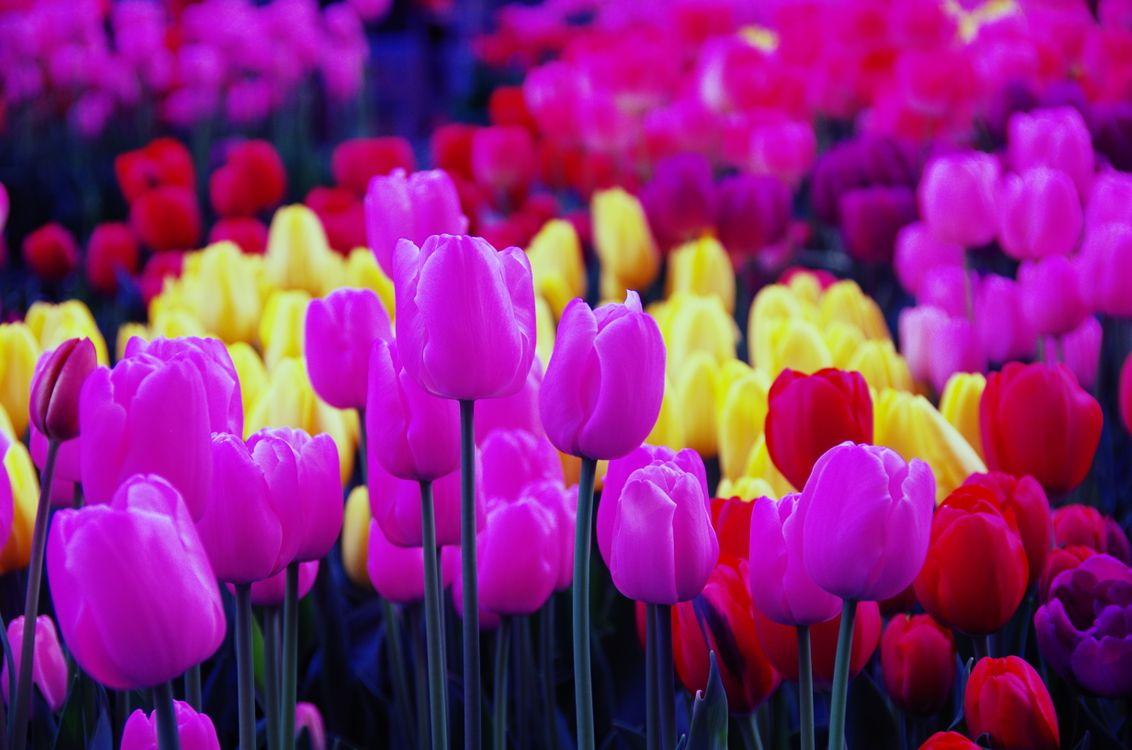 Красивые тюльпаны · бесплатное фото