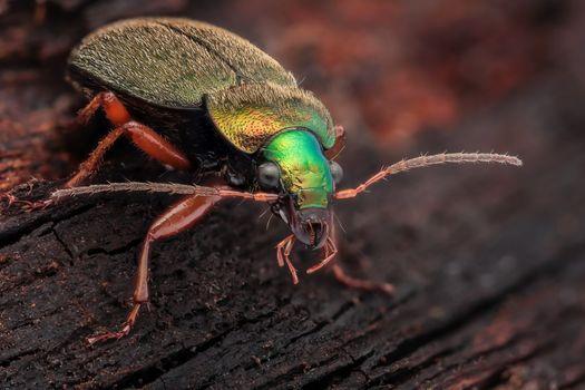 Бесплатные фото Chlaenius nitidulus,Carabidae,длиной 11 мм,Айнаси,северная Латвия,жук