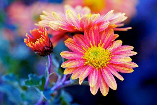 Фото бесплатно цветок, хризантема, цветы, флора, хризантемы, макро