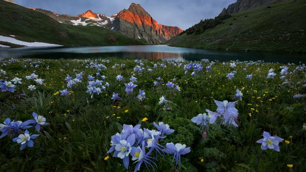Aquilegia by the lake in the mountains · free photo