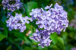 Photo free branch of lilac, flowers, lilac