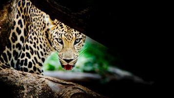 Заставки Портрет леопарда, дерево, кошачьи