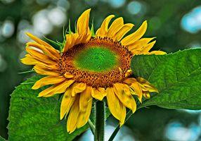 Картинка про подсолнухи, цветы