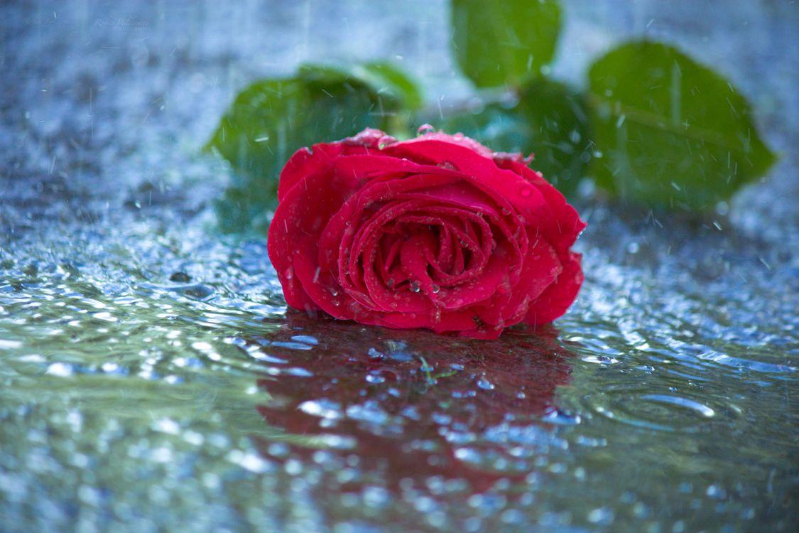 Фото бесплатно роза, плохая погода, капли - на рабочий стол
