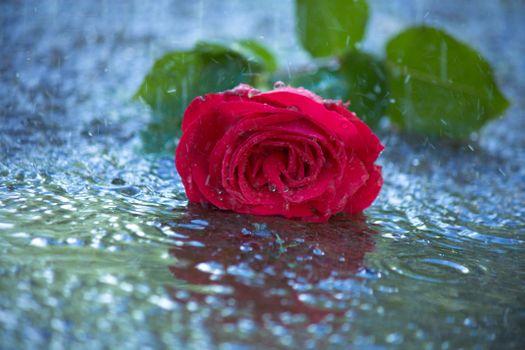 Бесплатные фото роза,цветок,цветы,розы,флора,дождь,капли,непогода