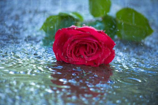 Фото бесплатно роза, плохая погода, капли
