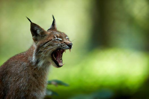 Фото бесплатно рысь, хищник, кошка