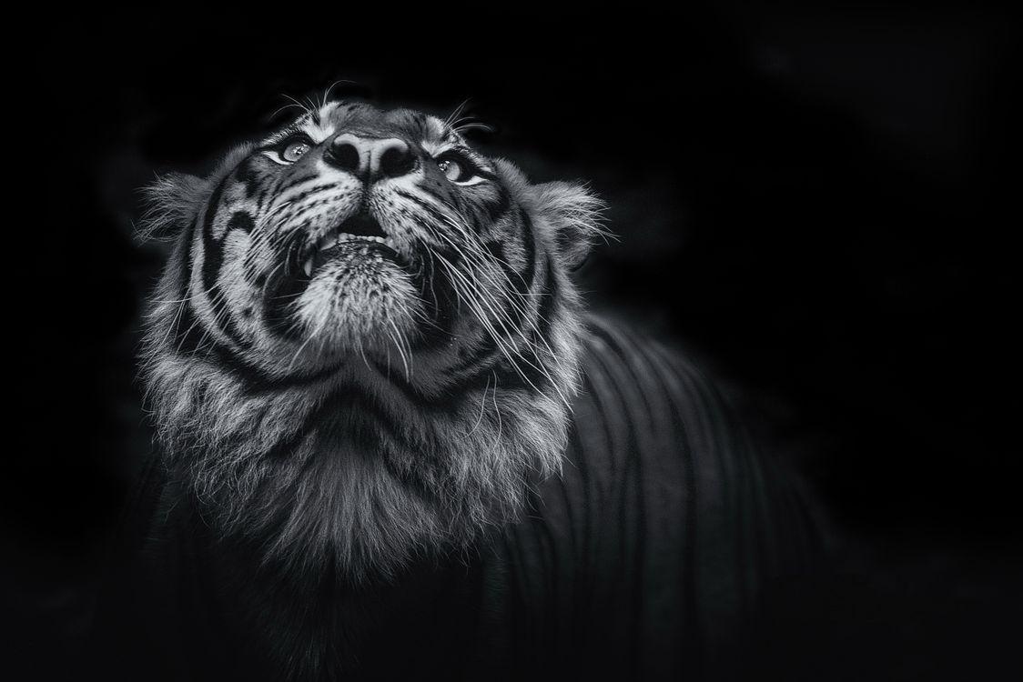 Фото бесплатно тигр, животные, monochrome - на рабочий стол