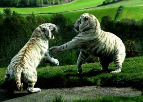 Фото бесплатно битва, белых тигров, хищник