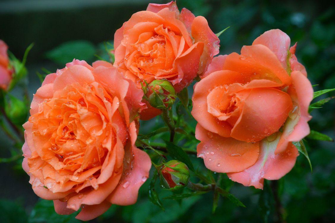 Розы осенью · бесплатное фото