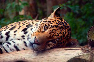 Фото бесплатно Leopard, Edinburgh Zoo, Corstorphine