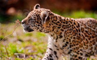 Бесплатные фото leopard,леопард,взгляд