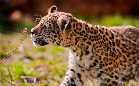 Download screensaver leopard, look on your phone for free