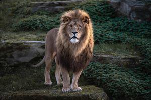 Photo free view, cat, Lion