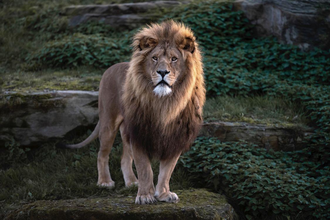 Фото бесплатно взгляд, кошка, Lion - на рабочий стол
