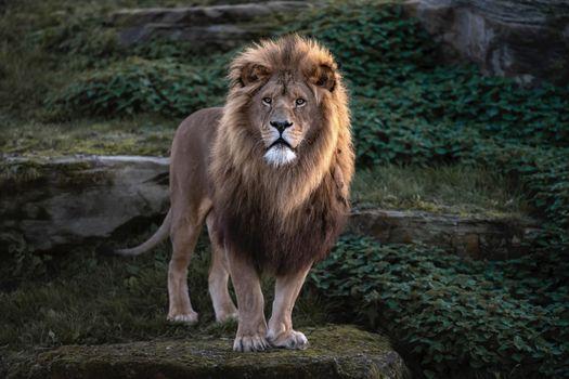 Заставки взгляд, кошка, Lion