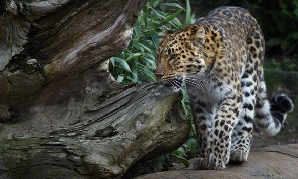 Leopard download free - free photo