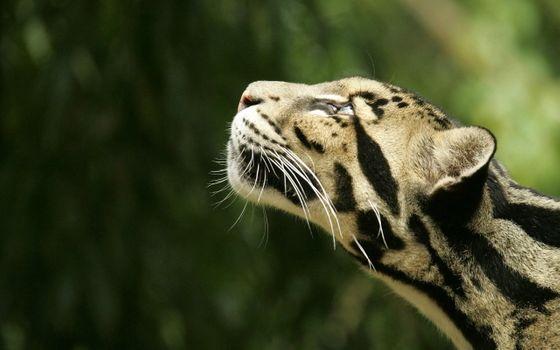 Фото бесплатно Clouded Leopard, Nashville Zoo, Grassmere