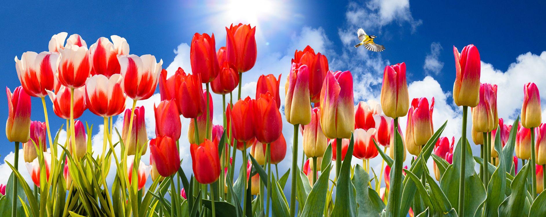 Обои поле, тюльпаны, цветы, флора, небо, птица, синица, панорама на телефон | картинки цветы