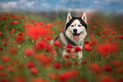 Siberian Husky in the poppy field · free photo