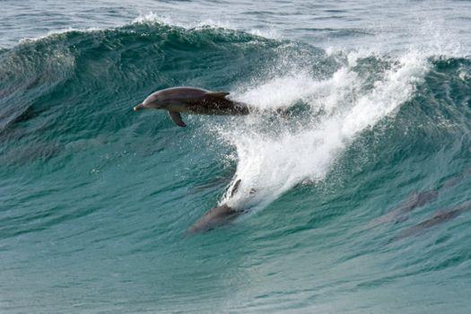Фото бесплатно дельфины, волна, dolphins