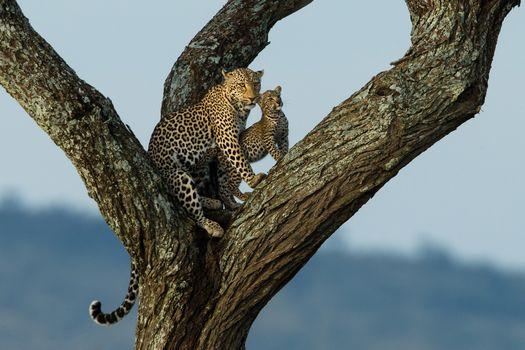 Заставки хищник, леопард на дереве, животное