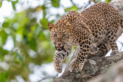 Angry leopard · free photo